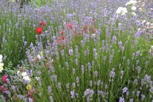Lavendel (c) alex grom