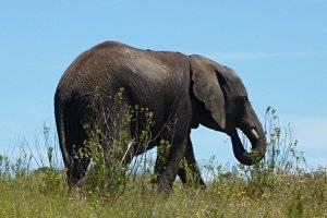 Elefant © Antje Griehl