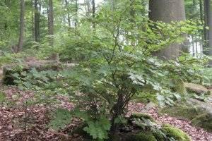 Saarlouiser Stadtwald (c) alex grom