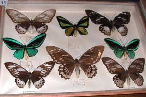Sammlung tropischer Schmetterlinge (c) Landschaftsmuseum Obermain