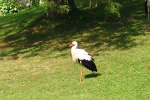 Storch (c) alex grom