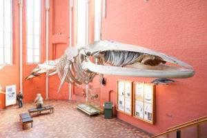 Obwohl von Stahlseilen gehalten, scheint das 15-m-Finnwal-Skelett im ehemaligen Kirchenchor über den Besuchern zu schweben, © Deutsches Meeresmuseum Stralsund  Foto: Johannes-Maria Schlorke