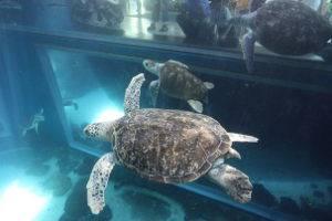 Über zwei Etagen können die Schildkröten im MEERESMUSEUM in ihrem 350.000-Liter-Aquarium beobachtet werden, © Deutsches Meeresmuseum, Foto: Johannes-Maria Schlorke