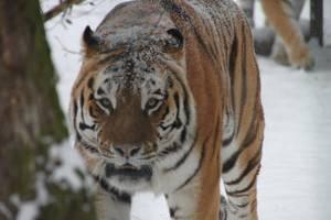 Tiger im Schnee (c) Zoo Braunschweig