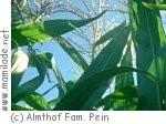 Maislabyrinth auf dem Almthof in Appen