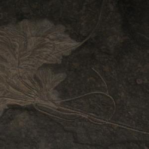 Versteinerte Seelilie - NatUrmuseum Bad Sachsa (c) alex grom