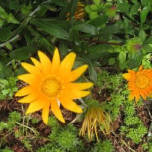 Gelbe Blume - Mittagsblume