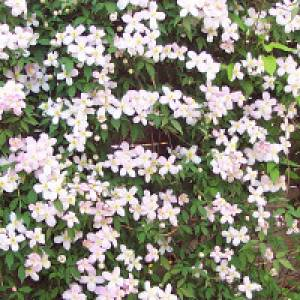 Rosa Clematis