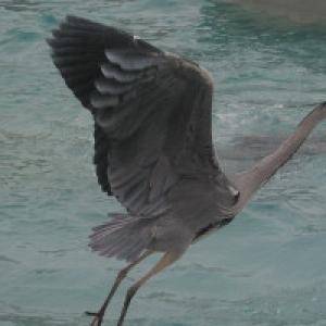 Fischreiher im Anflug