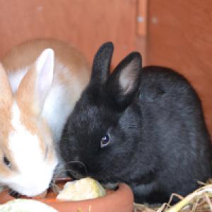 Zwei Zwergkaninchen beim Fressen