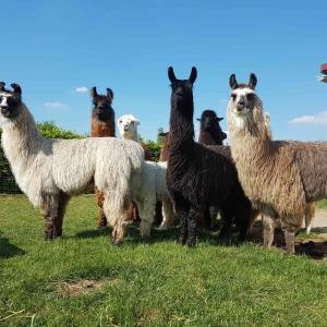 Lamas und Alpaka Wanderungen