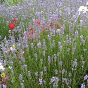 Lavendel und Buschrosen