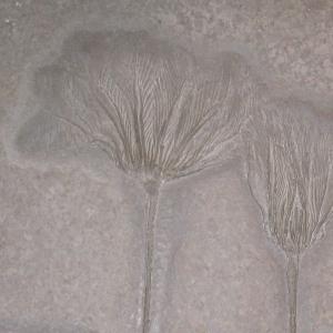 Versteinerte Seelilien (c) alex grom