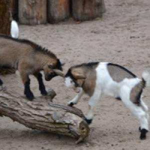 Zwei Ziegen streiten sich
