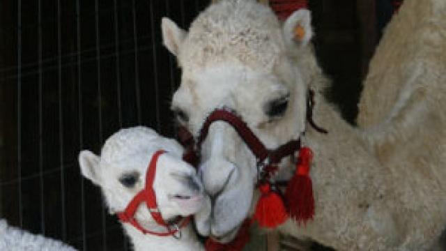 Kamele mit Herz in Gärtringen