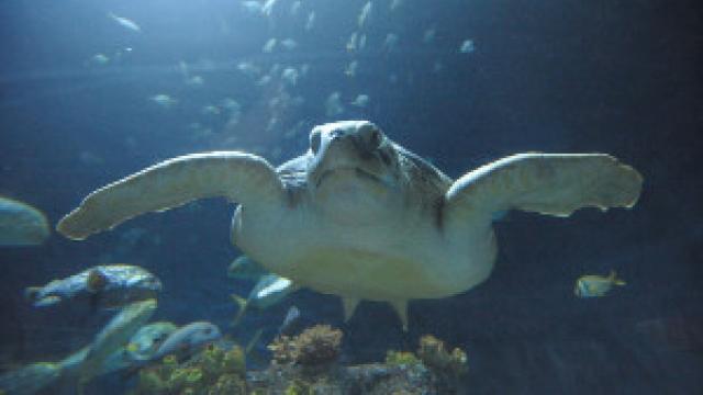 Meeresschildkröte (c) SEA LIFE Hannover